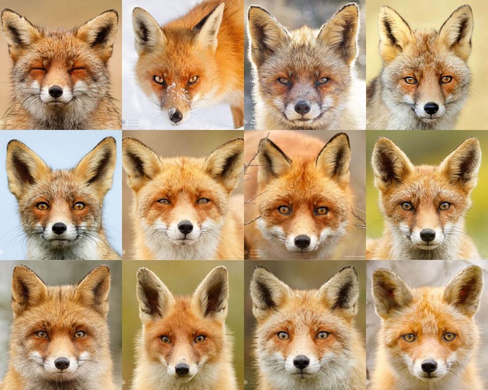 Fox portraits individuality