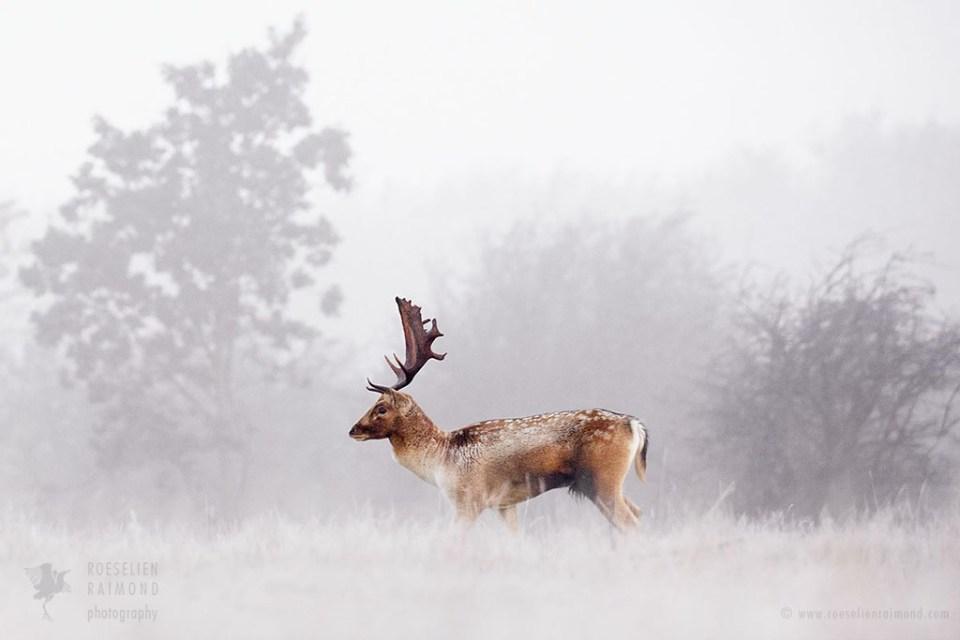 Fallow deer in the mist on a foggy sunrise
