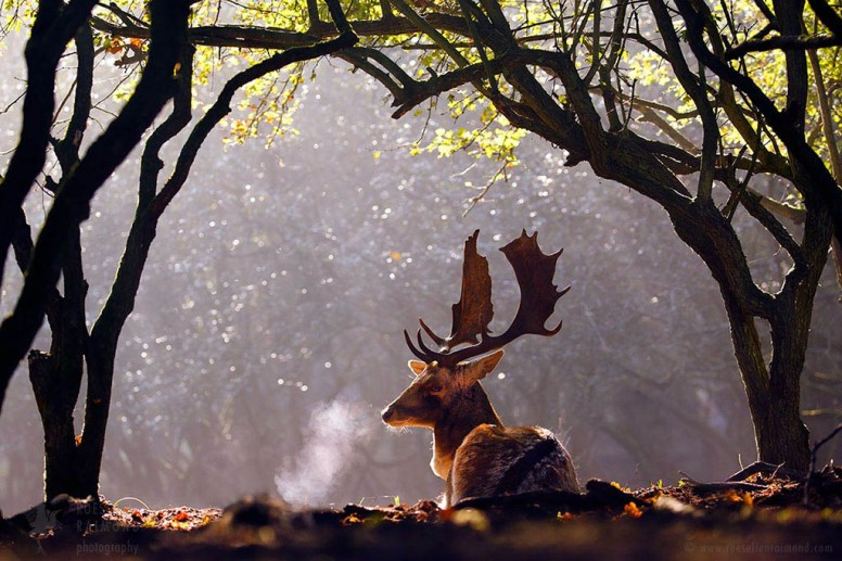 fallow deer at sunrise with a breath cloud