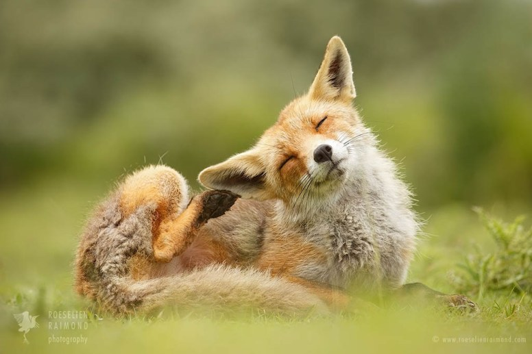 Red fox scratching its ear