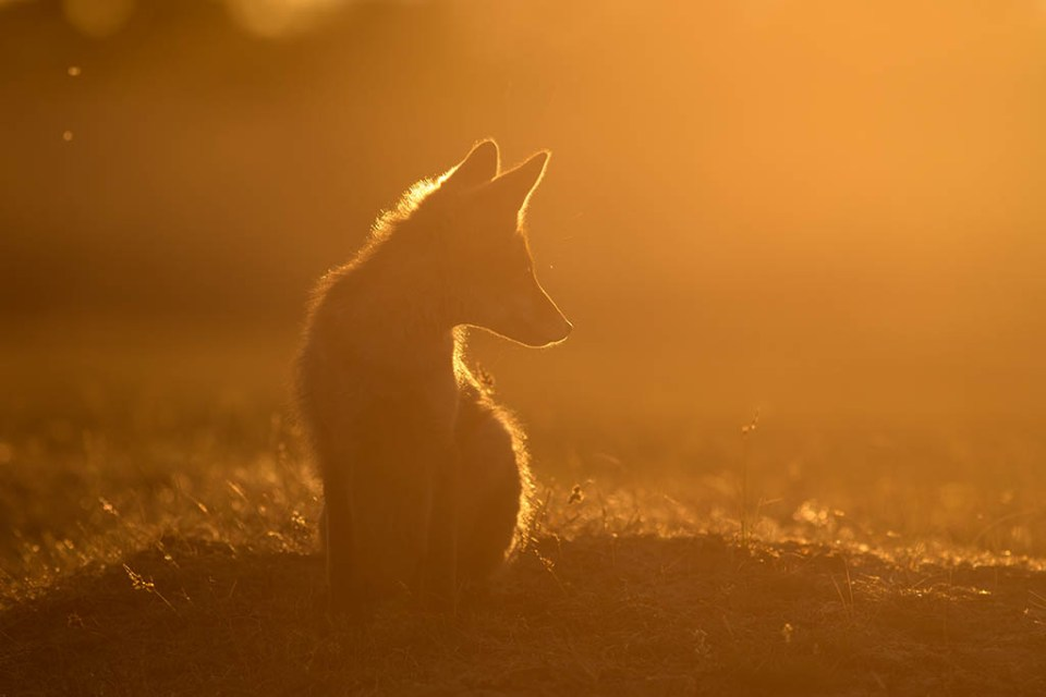 Red Fox watsching the Sunset