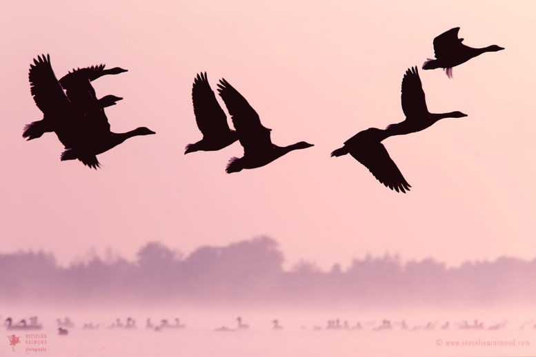 Geese silhouettes in flight