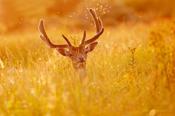 Backlit falllow deer with mosquitoes at sunset