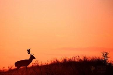 Fallow Deer Silhouette
