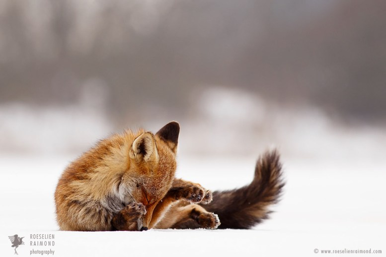 Red Fox on the Ice