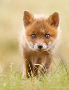 Baby Red Fox