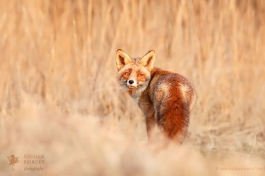 Fox in the Reed
