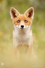 Red fox looking up