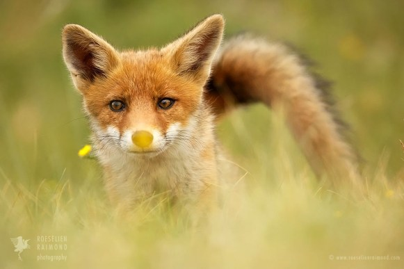 Fox with a flower