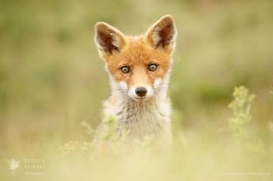 Cute little fox kit