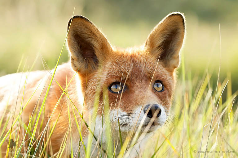 Red Fox Hunting in the Grass