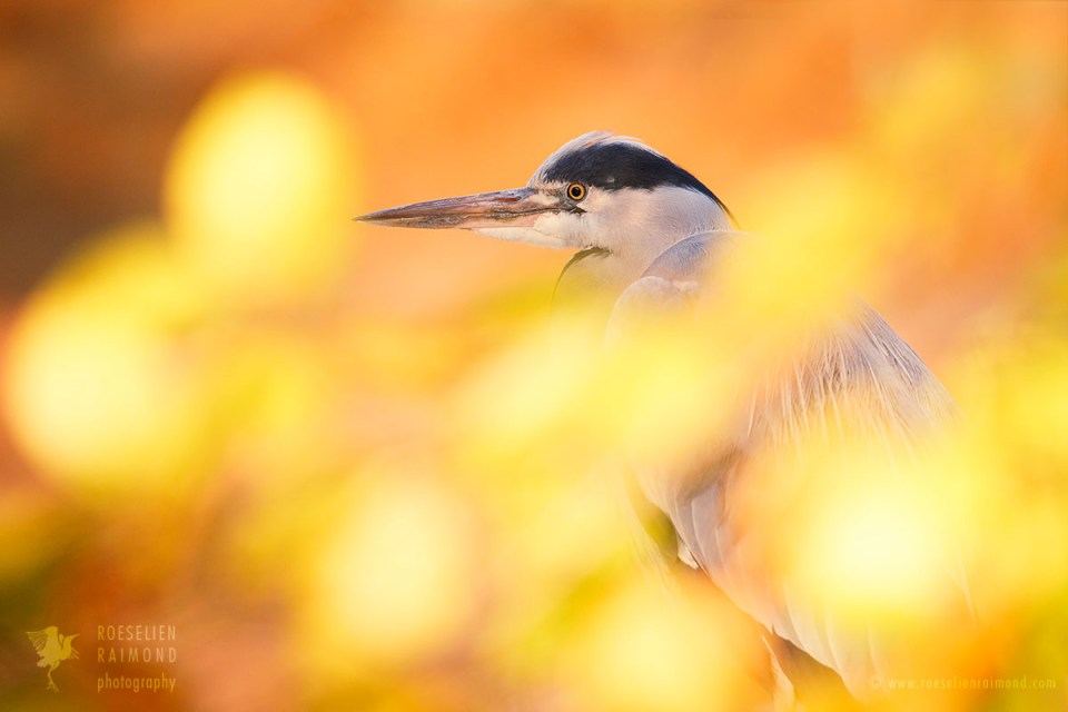 Hidden Heron behind a beech in autumn
