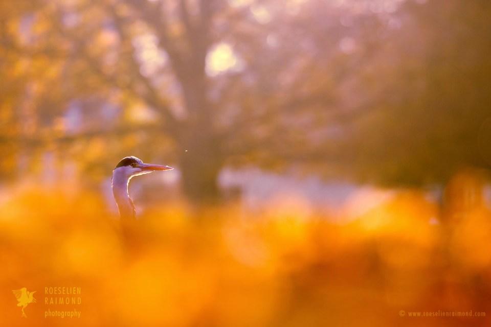 Autumn Egret
