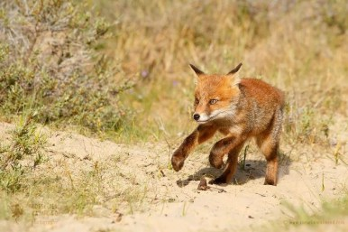 Young fox kit acting funny