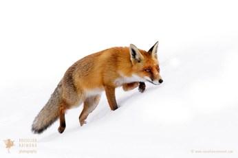 Red Fox running through the Snow
