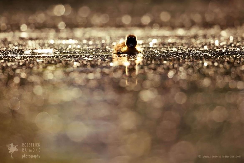 Cte little duckling