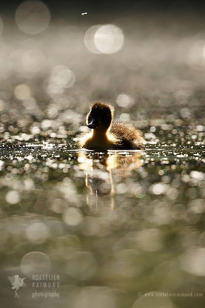 duckling and mosquito