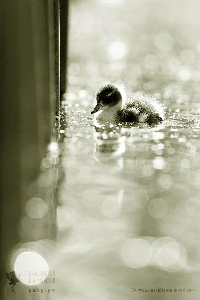 Duckling photo