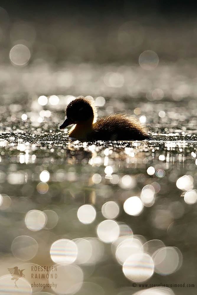 Duckling in the water