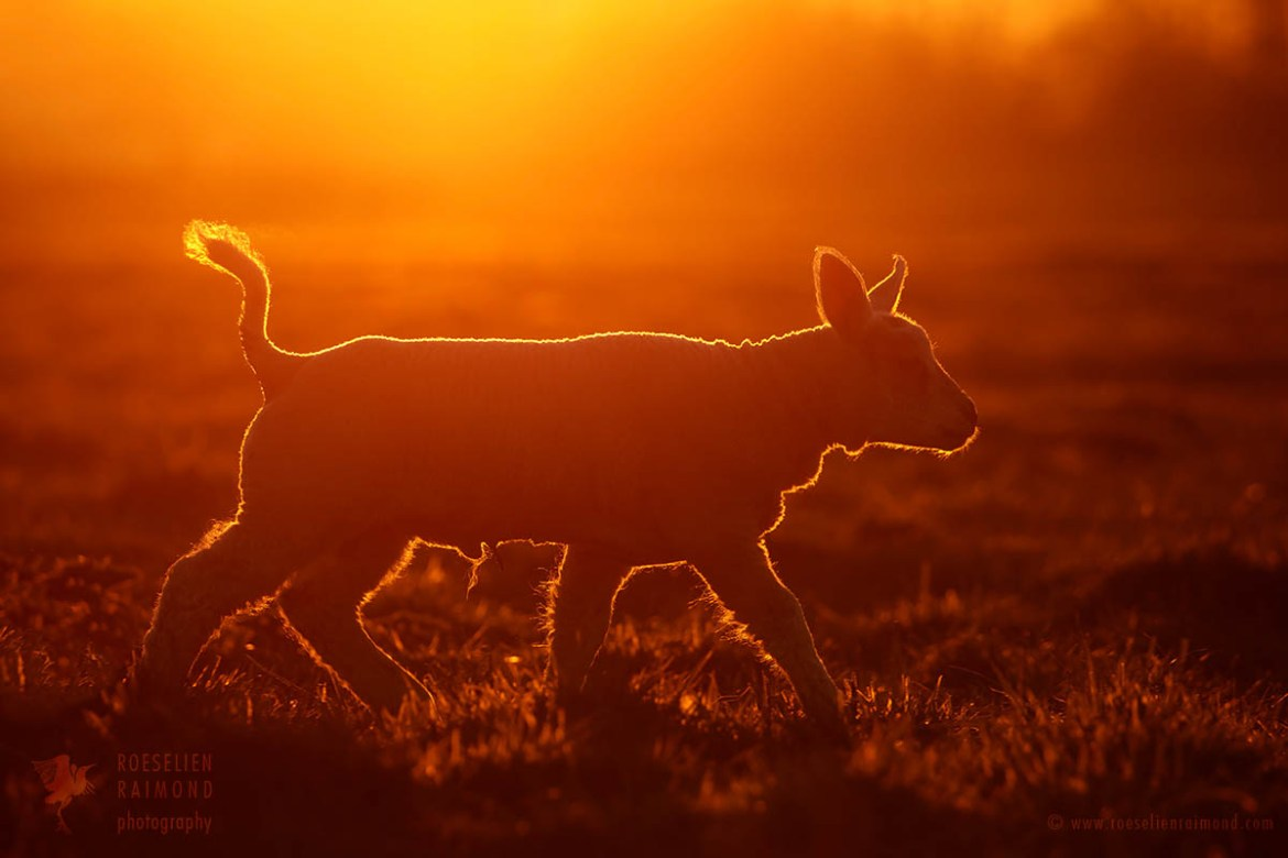Enligthened lamb at sunset