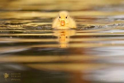 Yellow ducklin in sun light