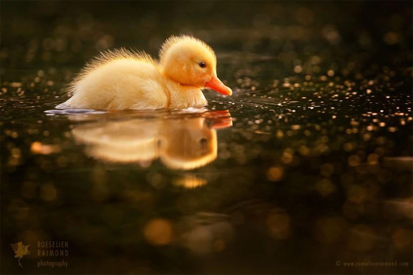 Cute yellow duckling