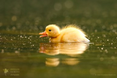 Baby duck in the water