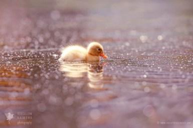 Cute duckling in a pool