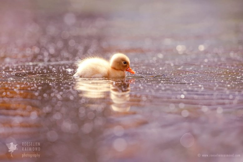 Cute duckling in a pool