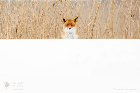 Red Fox, White World