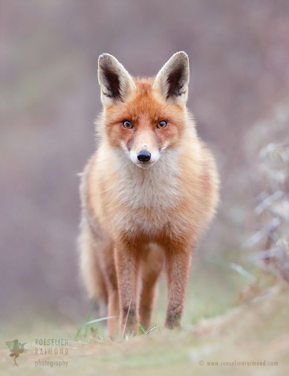 Red Fox Beauty