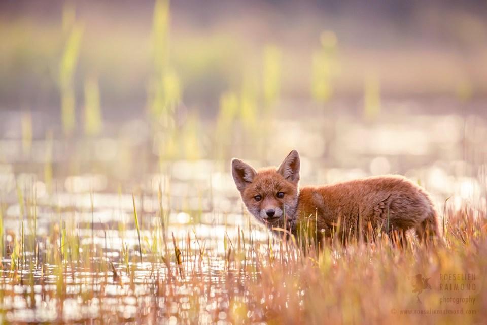 Drinking fox kit