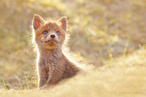 Fox kit looking up