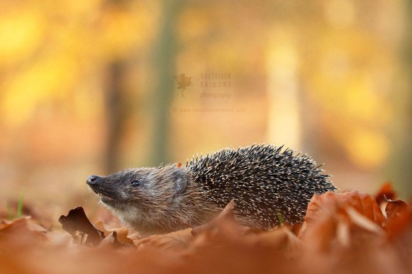 Hedgehog in autumn forest