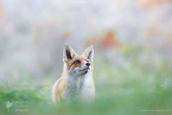 Red Fox - Like a Painting II