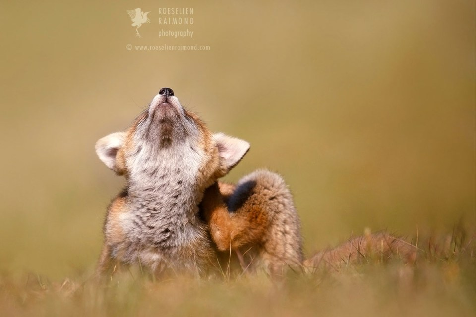 Fox kit with an itch
