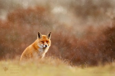 Red Fox in a Snow Shower