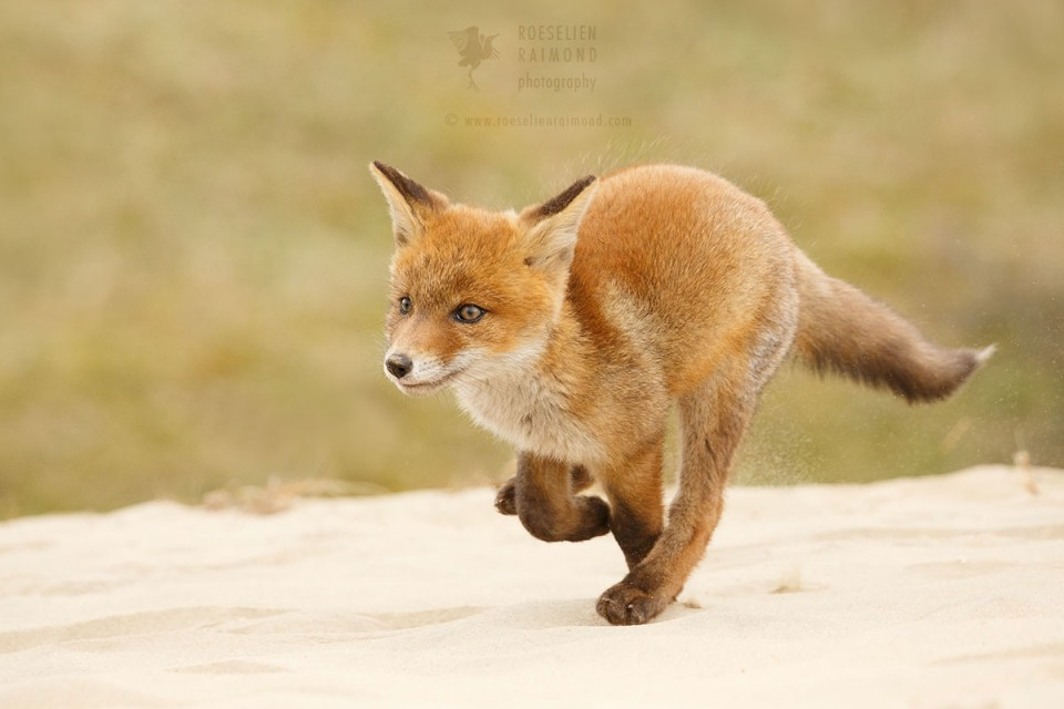 Running Red Fox Cub