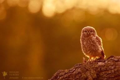 Little Owl in warm light