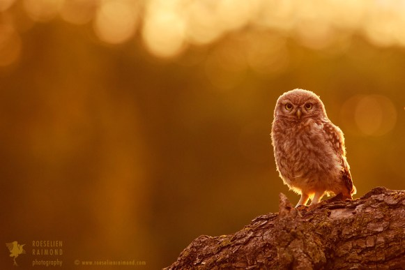 Little Owl in warm light