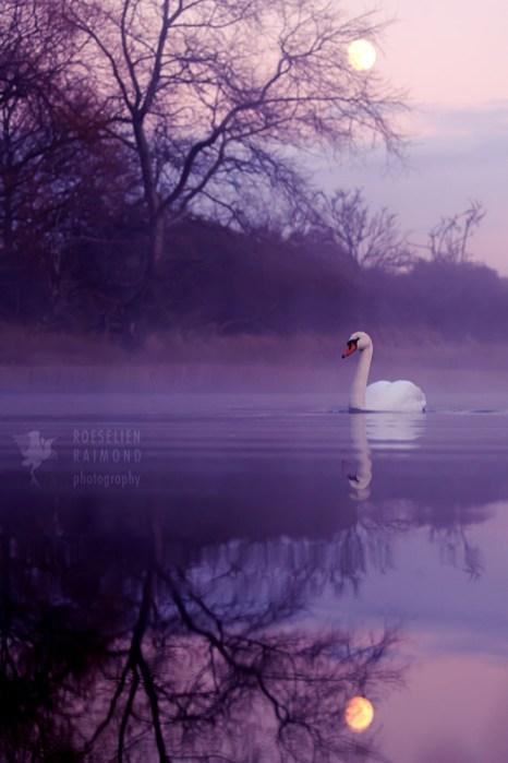 swan moon