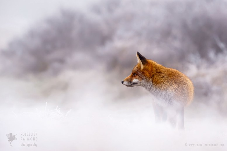 Red Fox in a White World