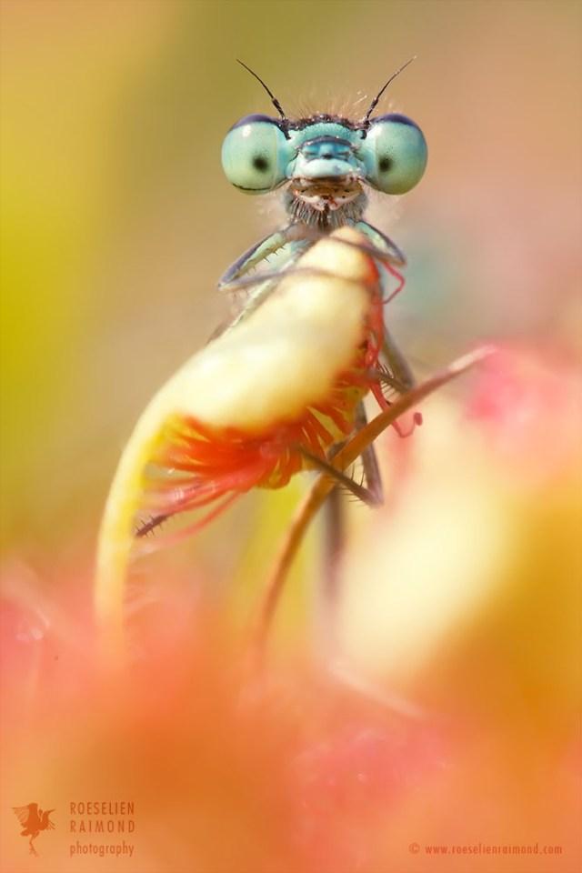 sundew damselfly carnivorous