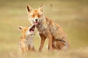 Fox Love Series: Happy Foxes