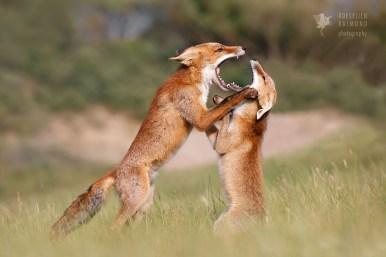 Disagreeing Foxes