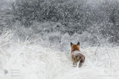 Red Fox, White Out
