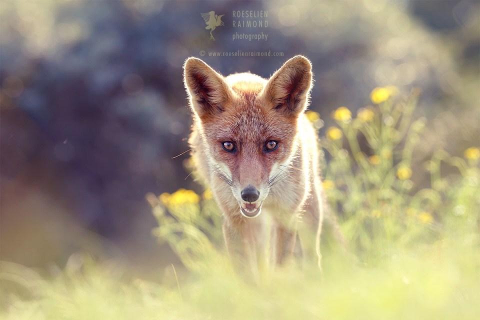 red fox flowers