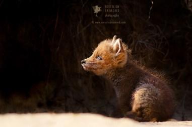 red fox light