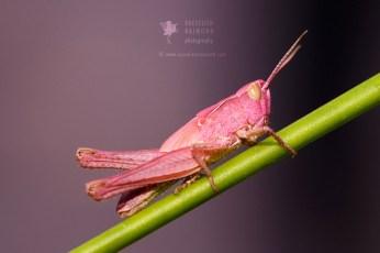 Pink grasshopper