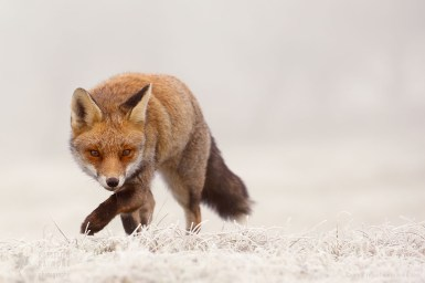 red fox frost rime